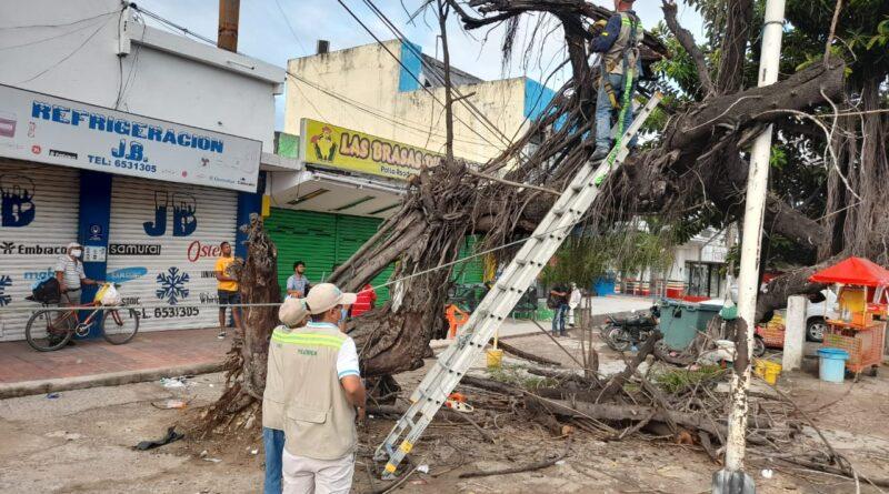 Por mal estado un Viejo árbol de caucho fue talado y será reemplazado